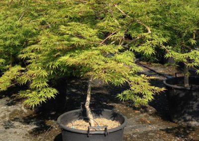 Acer Palm Viridis Mast.35(1)