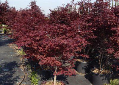Acer palm. Fg1 h.100-125
