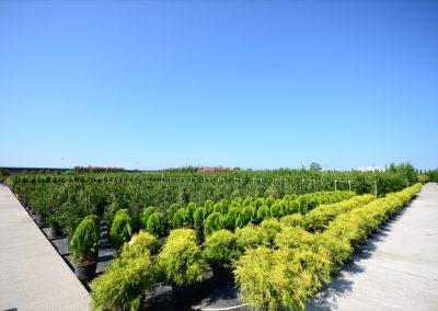 Conifere in varietà