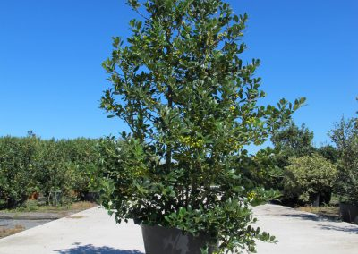 Grandi Arbusti 12