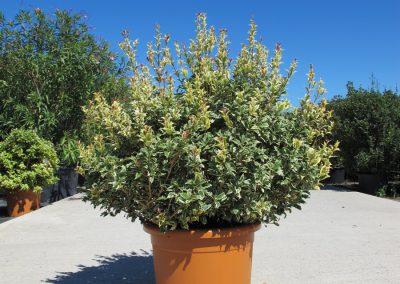 Grandi Arbusti 13