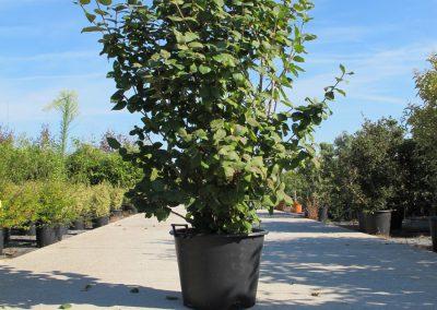 Grandi Arbusti 16