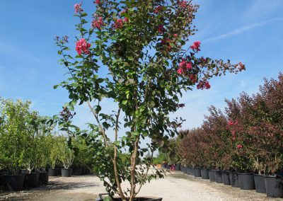 Grandi Arbusti 19
