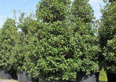 Grandi Arbusti 20