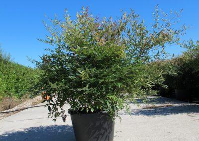 Grandi Arbusti 6