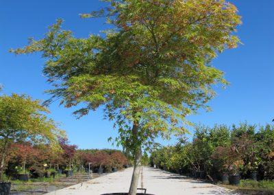Grandi Arbusti 8