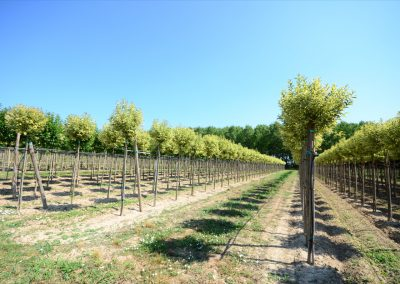 Ligustrum japonica variegato