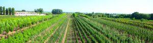 Produzione alberi in piena terra