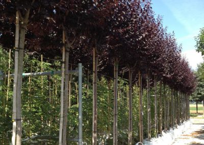 Prunus Cerasifera Nigra crf 12-14-16