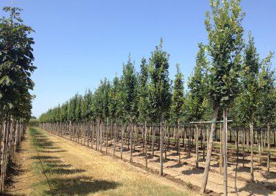alberi in piena terra 2