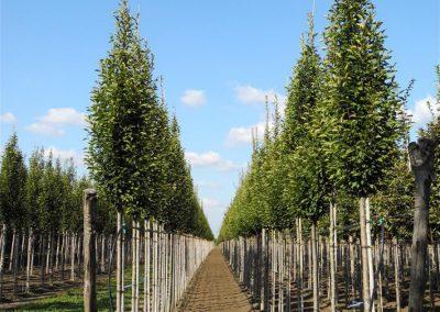 alberi in piena terra 3