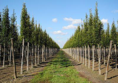 alberi in piena terra 4