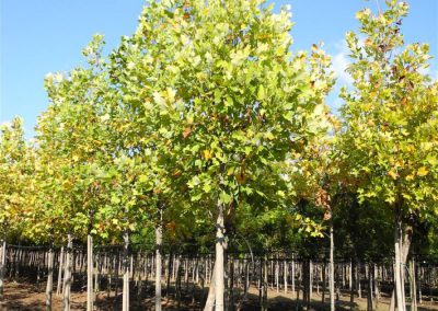 alberi in piena terra 5