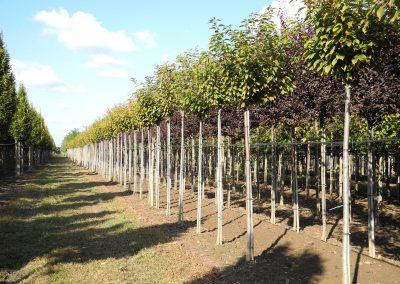 alberi in piena terra 6