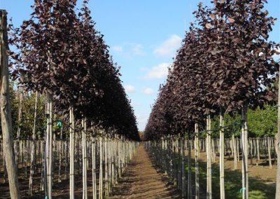 alberi in piena terra 8