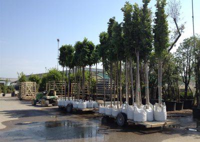 alberi in vaso 12