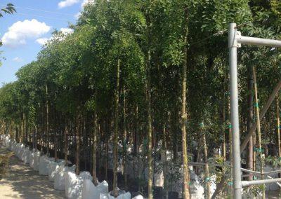 alberi in vaso 14
