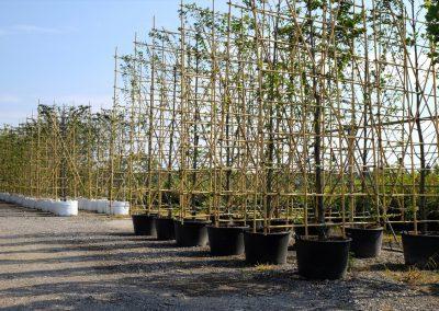 alberi in vaso
