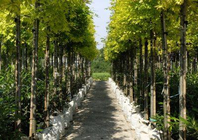 alberi in vaso 5