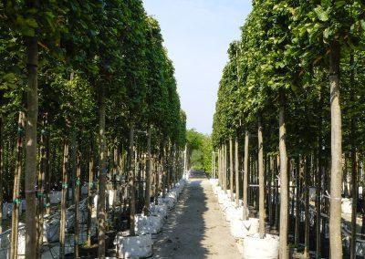 alberi in vaso 6