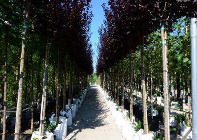 alberi in vaso 9