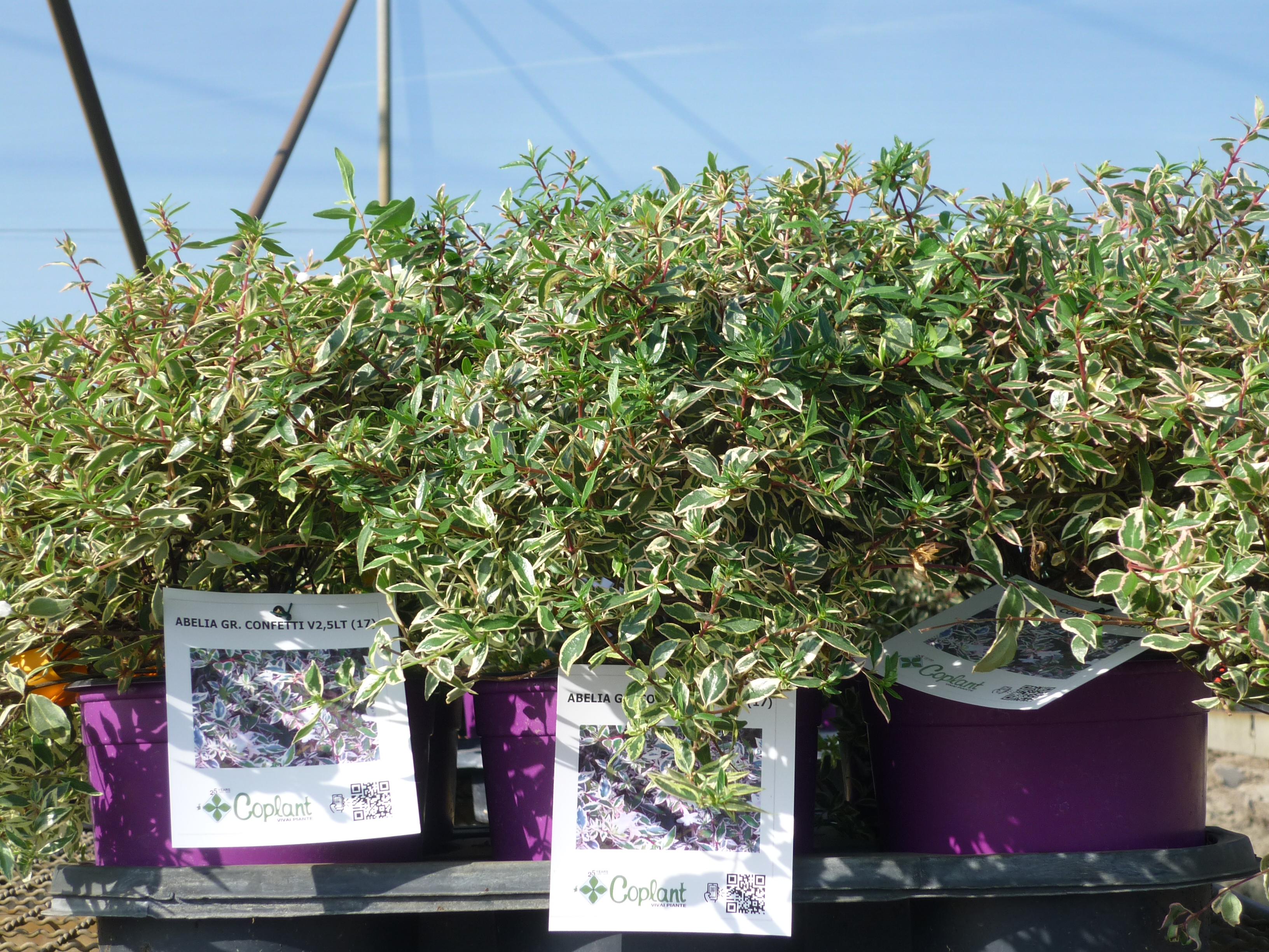 Abelia grandiflora Confetti Thermocolor 1