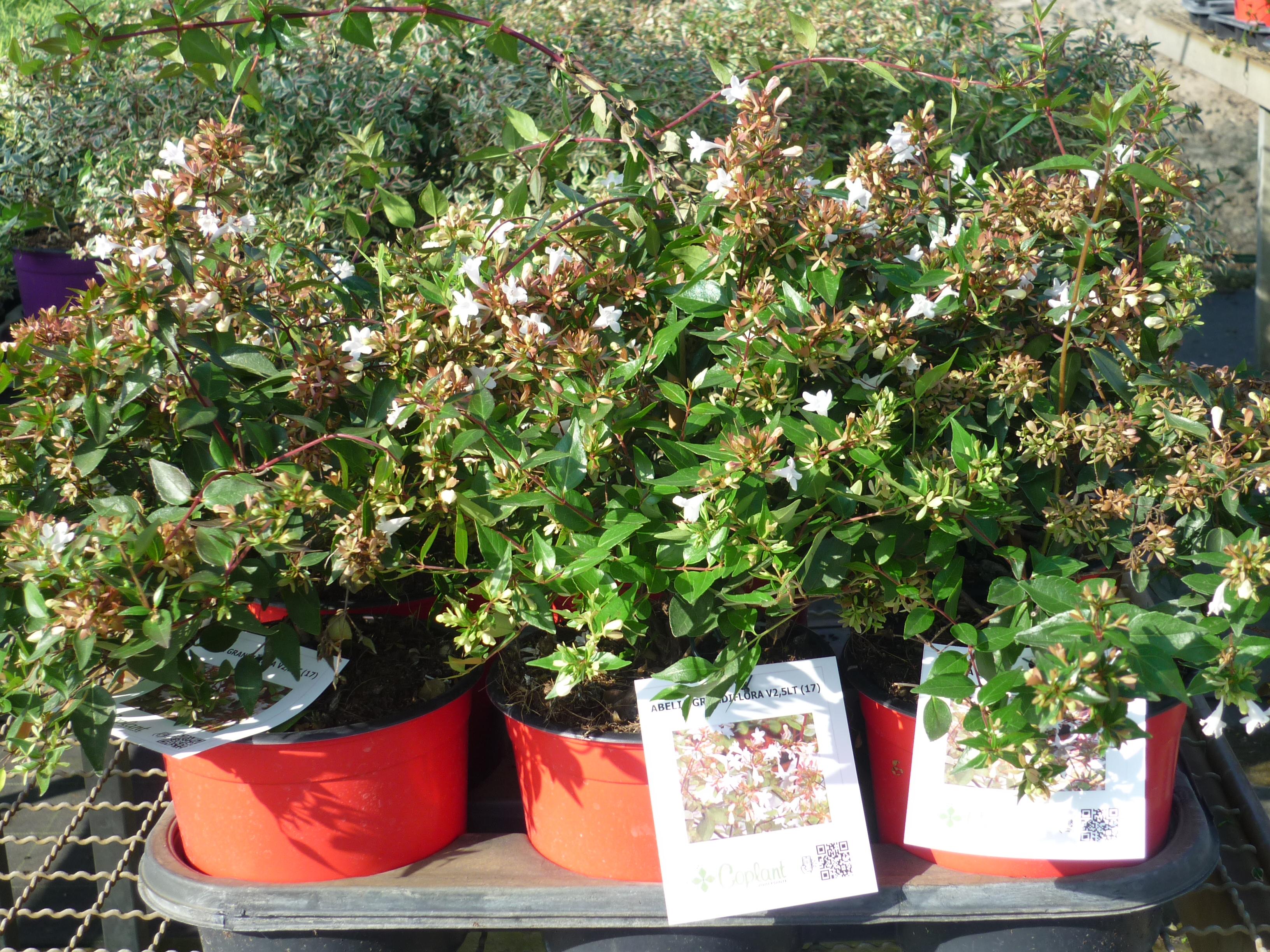 Abelia grandiflora Thermocolor 2
