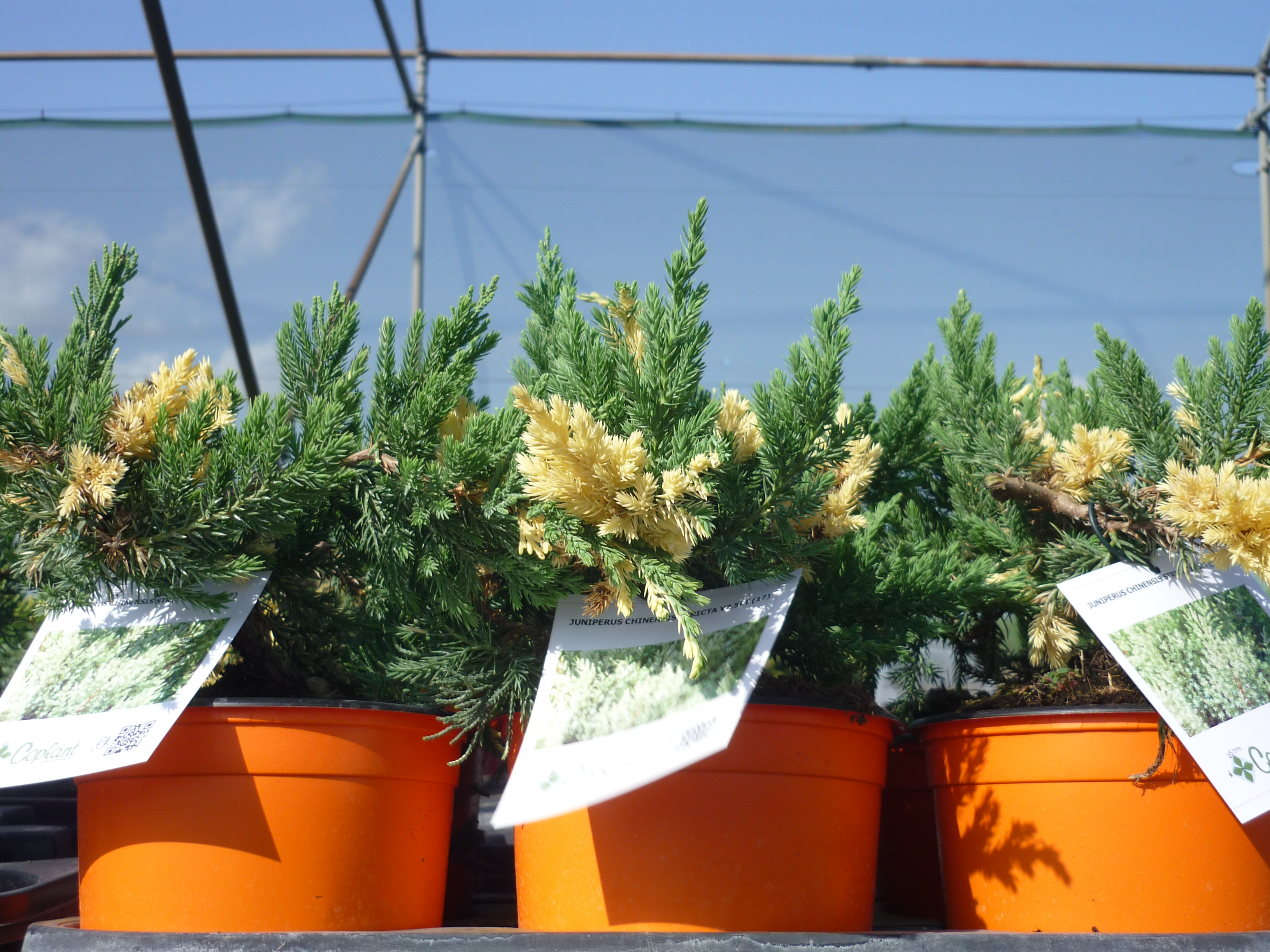 Juniperus chinensis expansa variegata Thermocolor 2