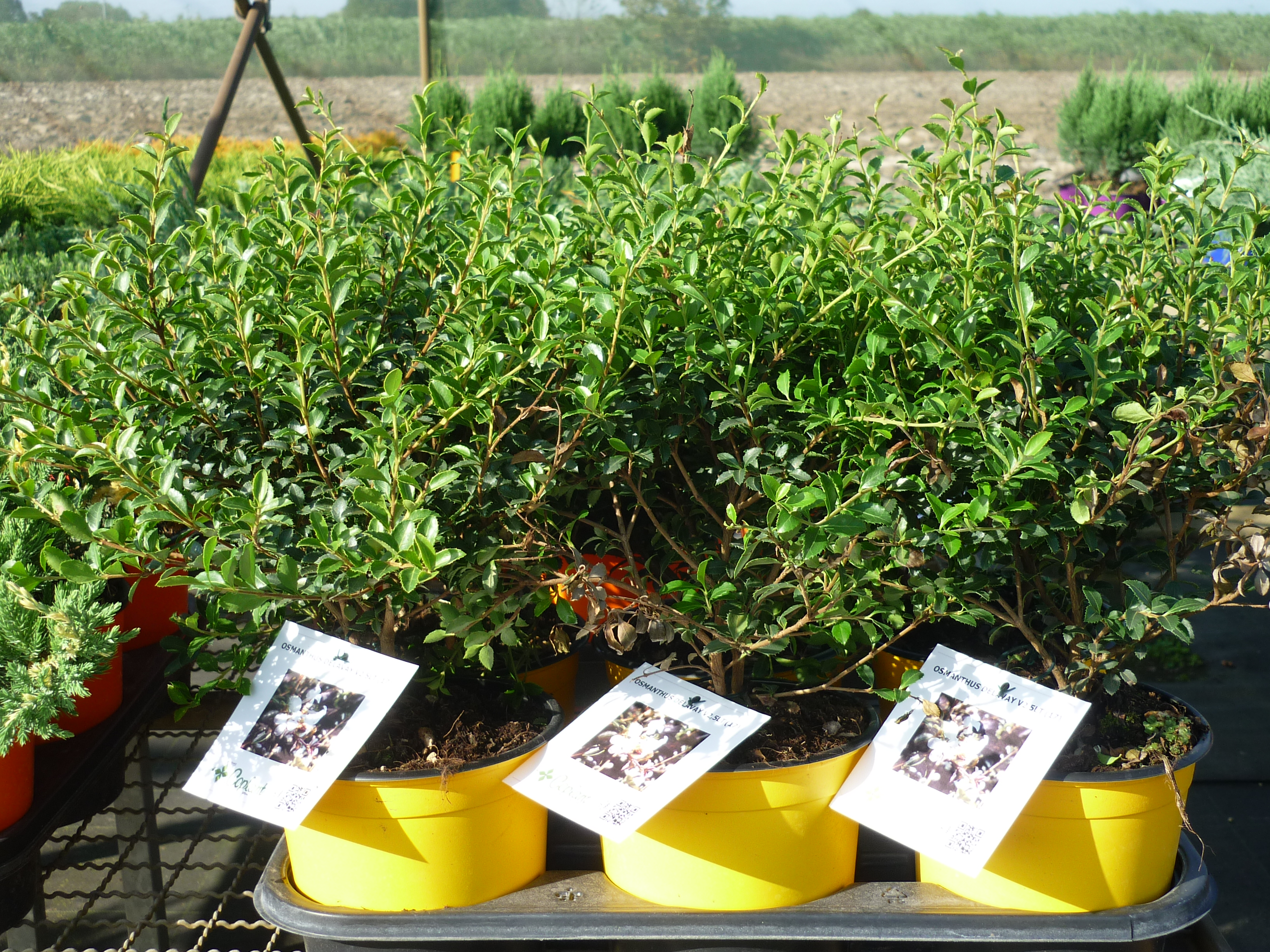 Osmanthus delawayi Thermocolor 1