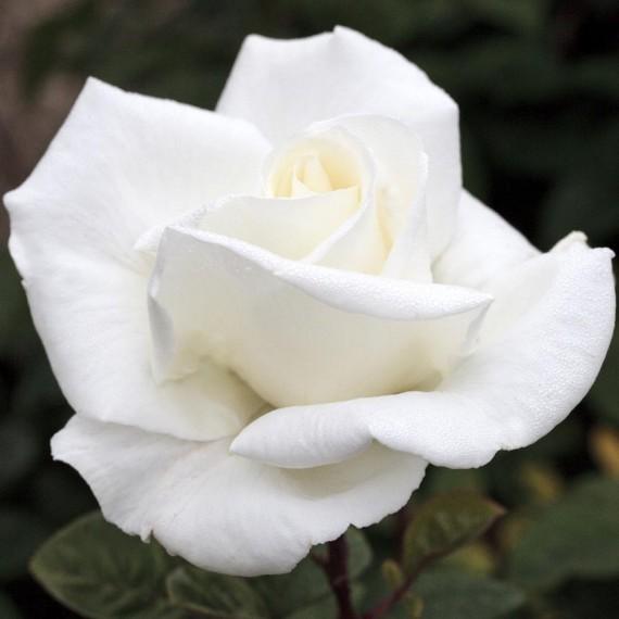 ROSA g.f. GARDENIA