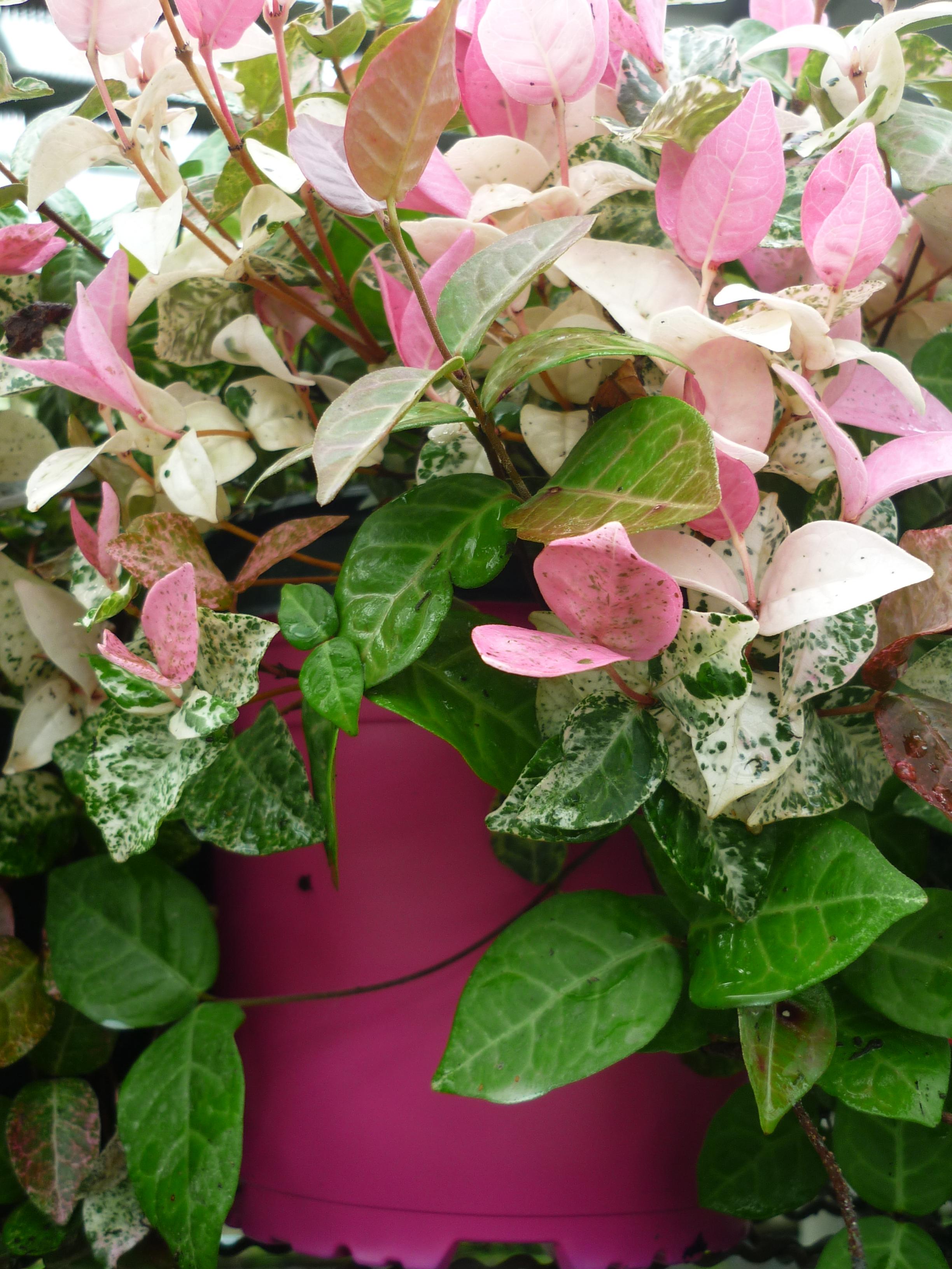 Rhincospermum -Thrachelospermum- jasminoides tricolor 2