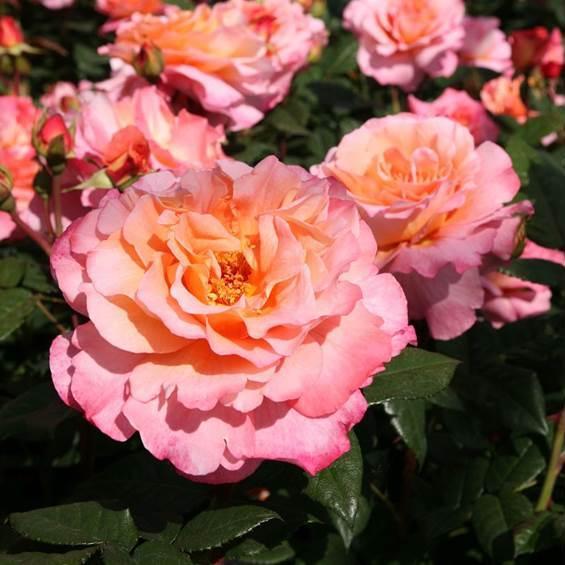 rose-rose-romantiche-augusta-luise_Nit_440