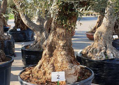 Olea europea bonsai 2 € 600