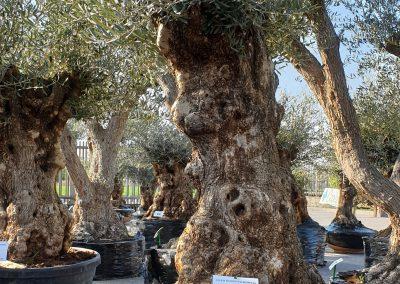 Olea europea bonsai 3 € 600