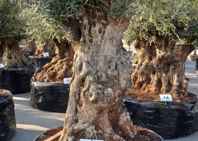 Olea europea bonsai 32 € 600