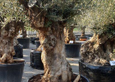 Olea europea bonsai 33 € 600