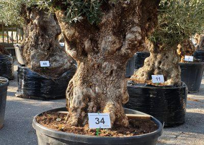Olea europea bonsai 34 € 600