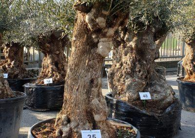 Olea europea bonsai 35 € 600