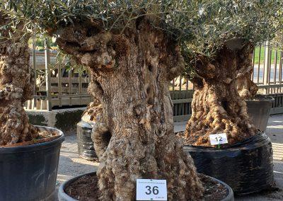 Olea europea bonsai 36 € 600