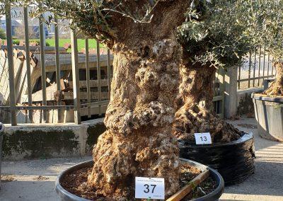 Olea europea bonsai 37 € 600