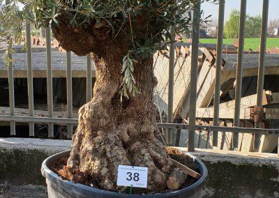Olea europea bonsai 38 € 600