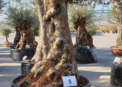 Olea europea bonsai 5 € 600