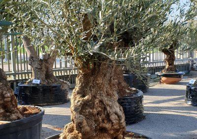 Olea europea bonsai 7 € 600