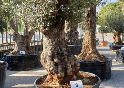 Olea europea bonsai 8 € 600