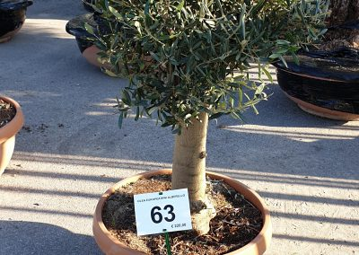 Olea europea mini alberello 63 € 220