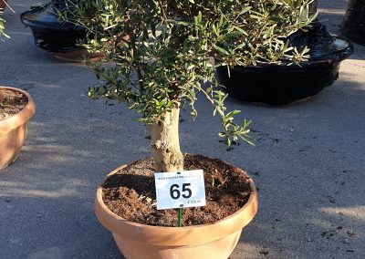 Olea europea mini alberello 65 € 220