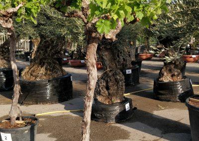 Vitis vinifera 01 € 300