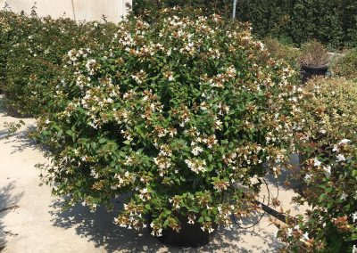 Abelia grandiflora a palla Ø 50-60 V.35LT (40)