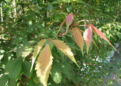 Acer cissifolium particolare foglie 1