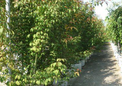 Acer cissipholium a ceppaia